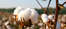 cotton plant responsibility_Wendler